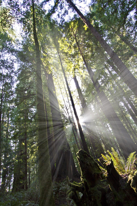 Redwood Sunburst