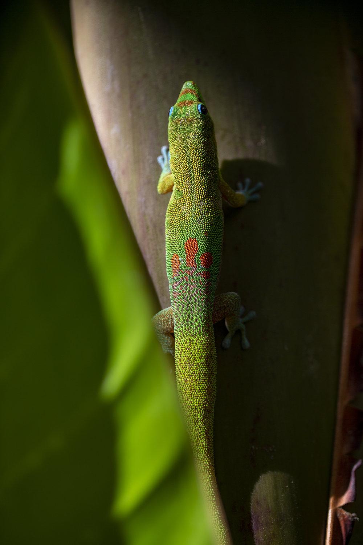 PeekingGecko#2-100.jpg