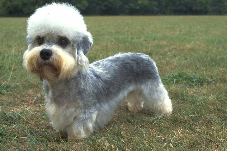 Behold, the noble Dandie Dinmont Terrier
