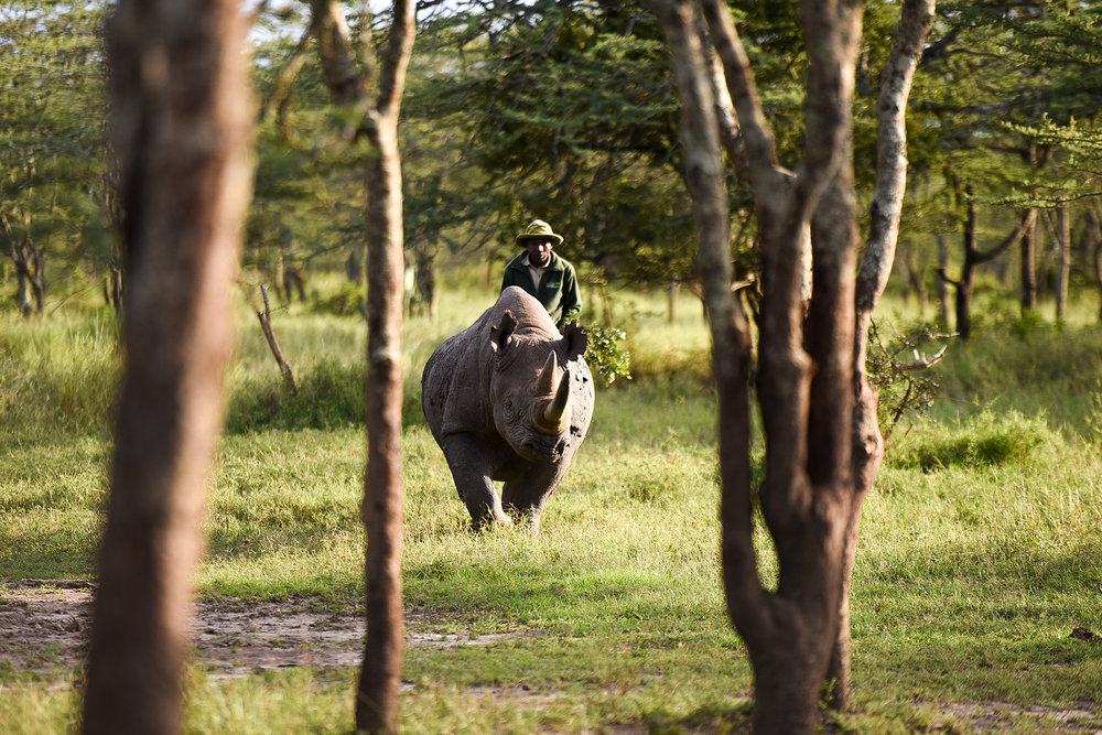 One of the guides at the Morani Center at Ol Pejeta, Solomon, finds Baraka, a blind black rhino. Baraka lost the vision in one eye from a fight with another male; he lost sight in his other eye from a crystalized cataract.
