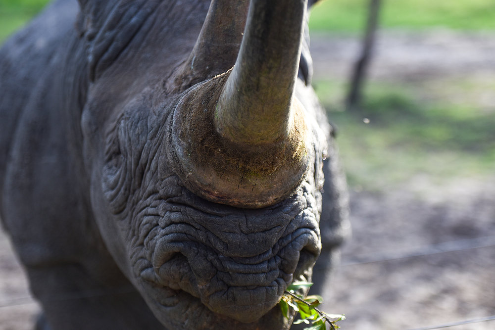 Losing sight in both eyes meant Baraka could no longer live in the wild. Rhinos are extremely territorial, and fighting without sight would have been lethal.