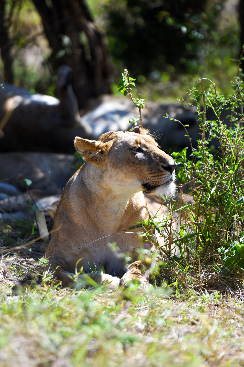 Lions are one of the members of the big five.