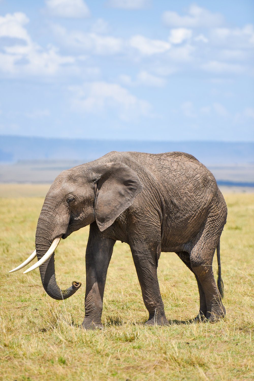 An elephant, another member of the big five, in Masai Mara National Reserve. Around 90 percent of African elephants have been wiped out in the past century, mainly because of the ivory trade; wildlife poachers in Kenya face the death penalty.