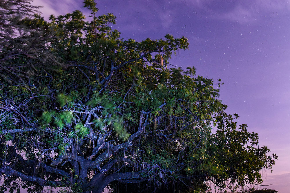 "An oldarpoi tree, or ""sausage tree,"" at night near Masai Mara National Reserve."