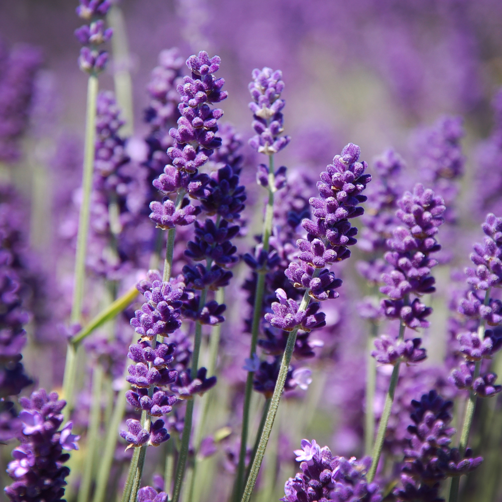 Lavender:The true lavender essential oil. Very relaxing.
