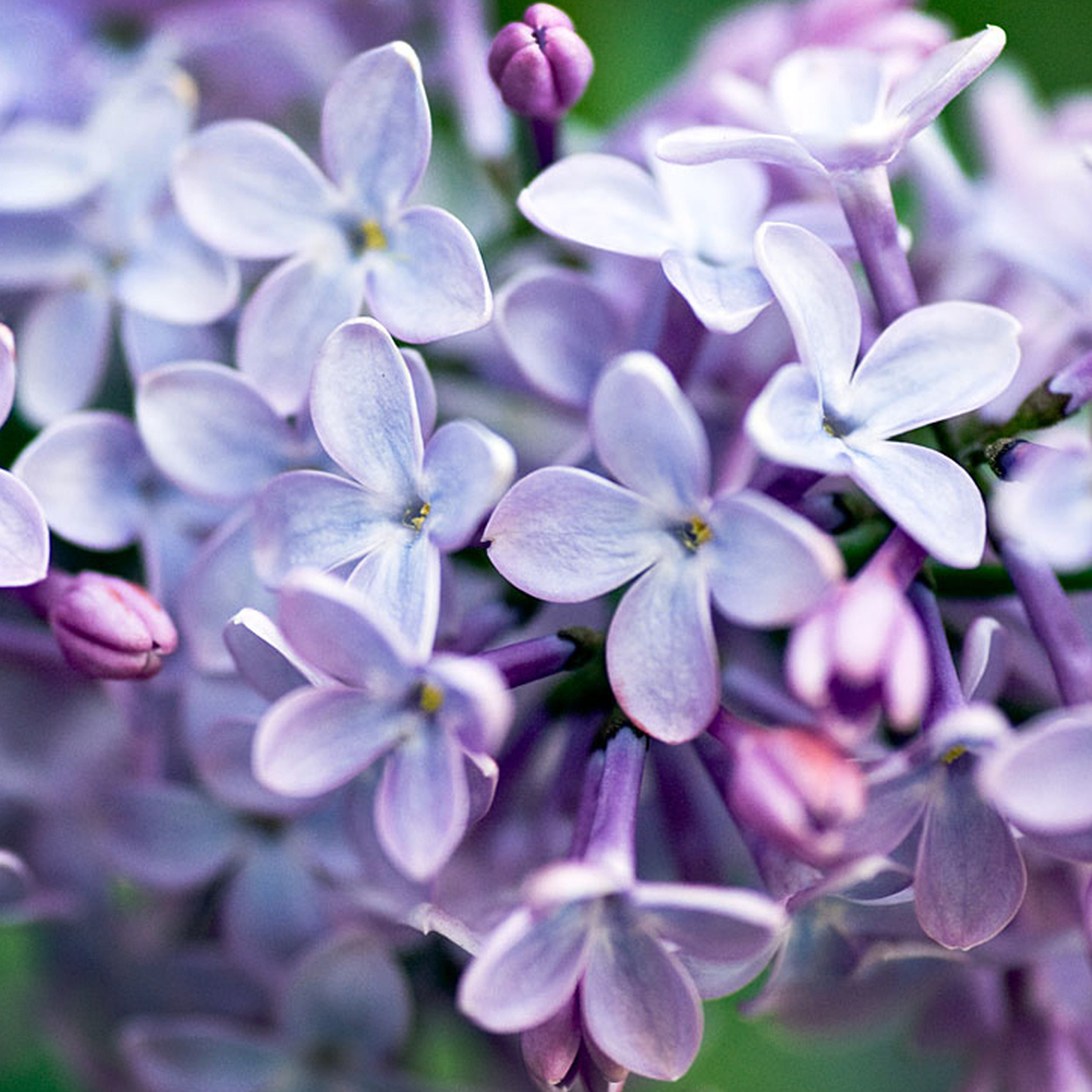 Lilac:This fragrance smells just like your grandmothers lilac bush!