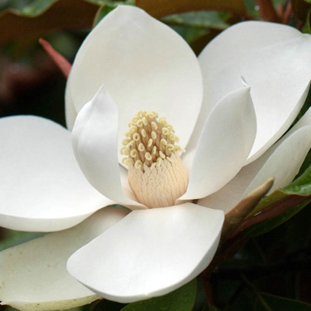 Magnolia:A favorite in the south. This fragrance blends a touch of musk and magnolia together to create a very light floral scent.