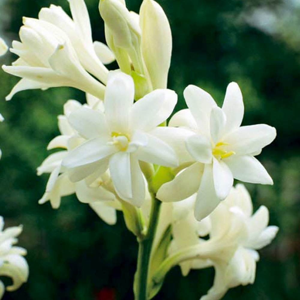 Tuberose:A synthesis of tuberose, musk, lily and rose. A gentle scent.