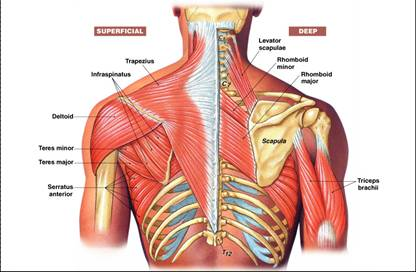http://pixhder.com/muscles+movement+of+the+shoulder