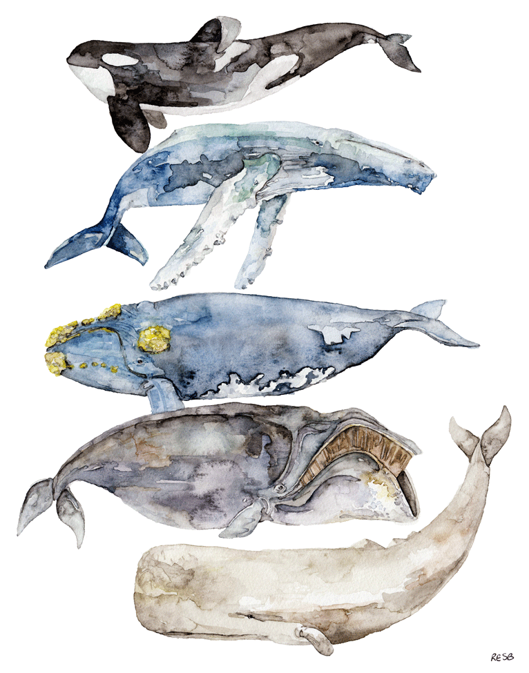 whale-species-web.png
