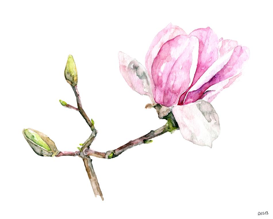 magnolia-3-web-.png