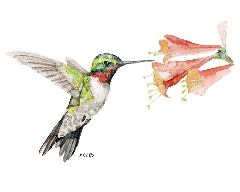 hummingbird-web.png
