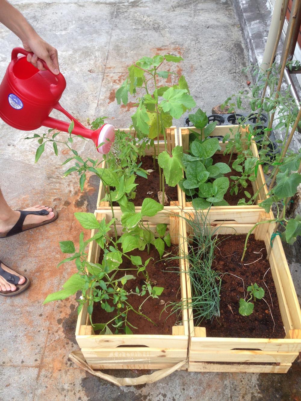 於是我們在ikea買了木箱回來當作植物們的家,種在頂樓。植物們長得超乎想像的快,每天慢慢澆水、灑灑肥料翻翻土,很快就持續成長拙壯,番茄們都開始攀住竹子支架,期待他們開花結果的那一天!