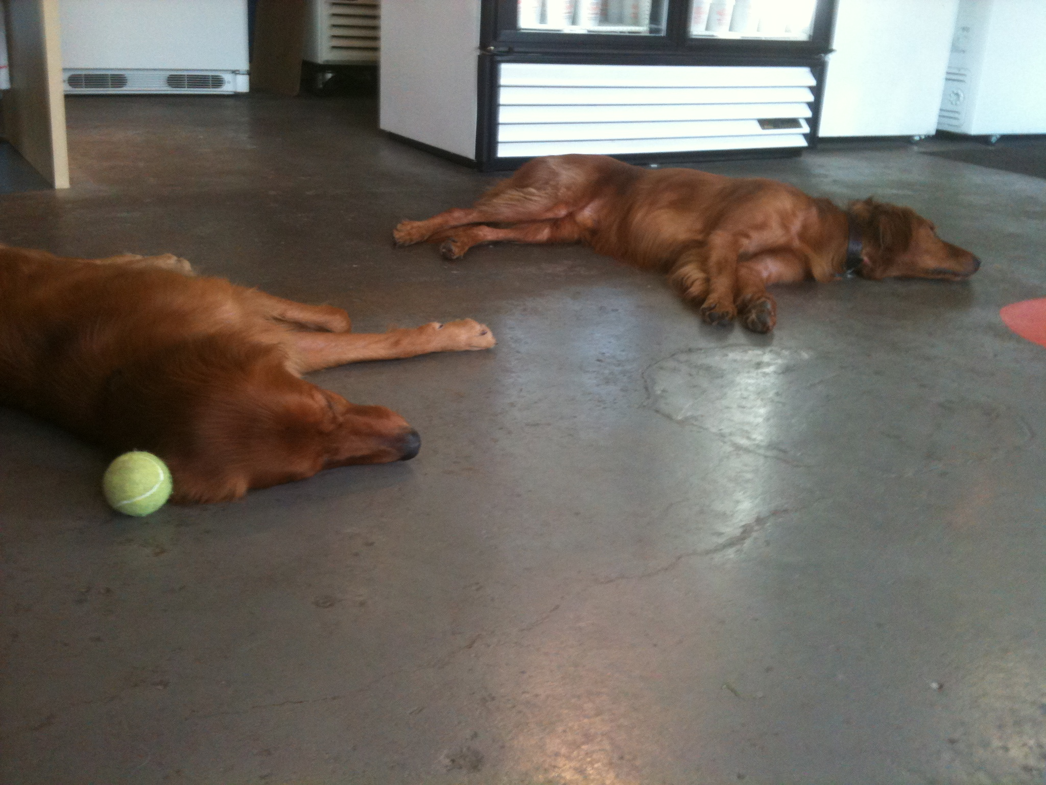 The dogs of Woody's take a nap after a short game of fetch!