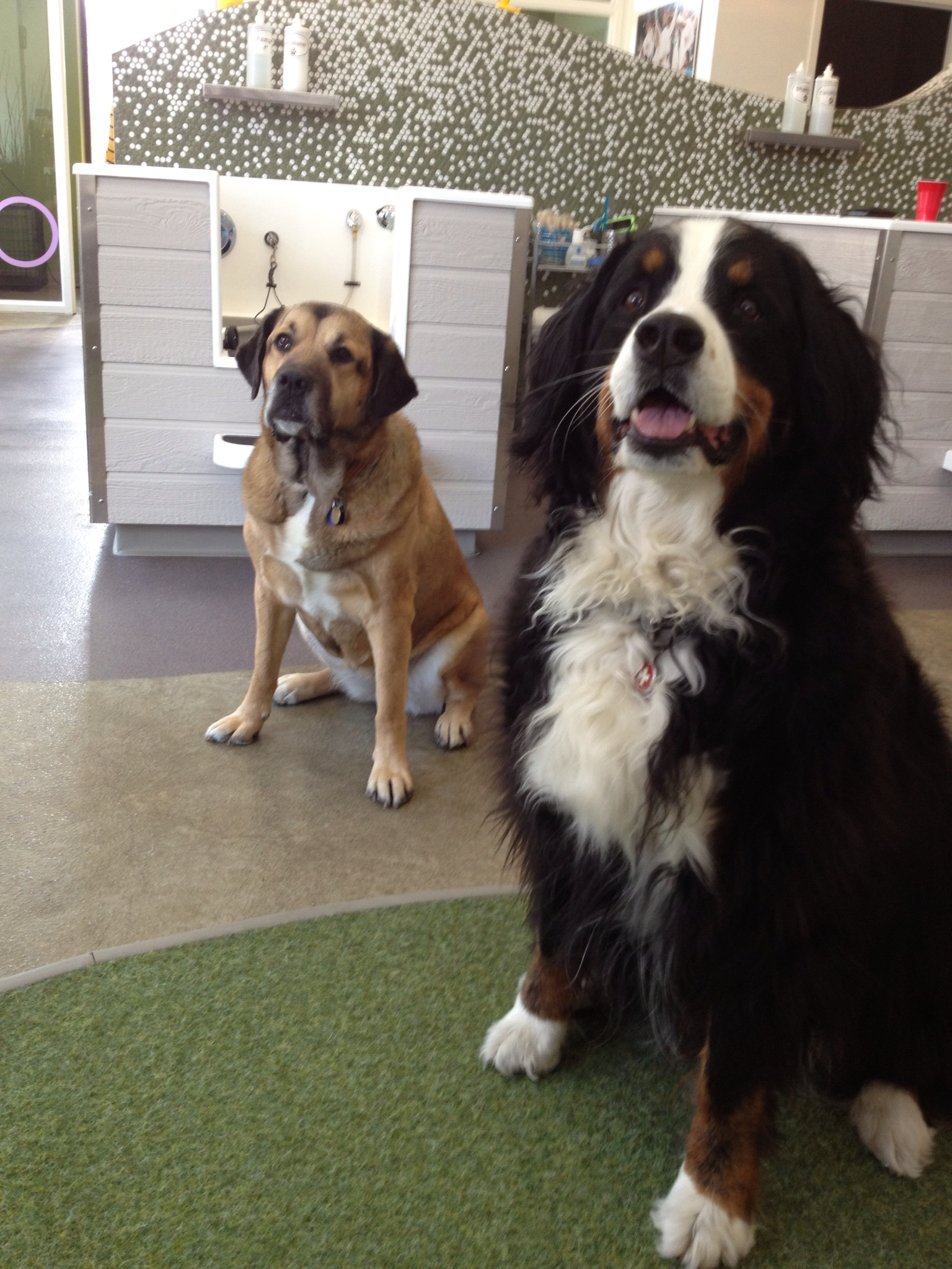 Roxy and Bindi at Bubbly Paws Dog Wash in Minneapolis,mn