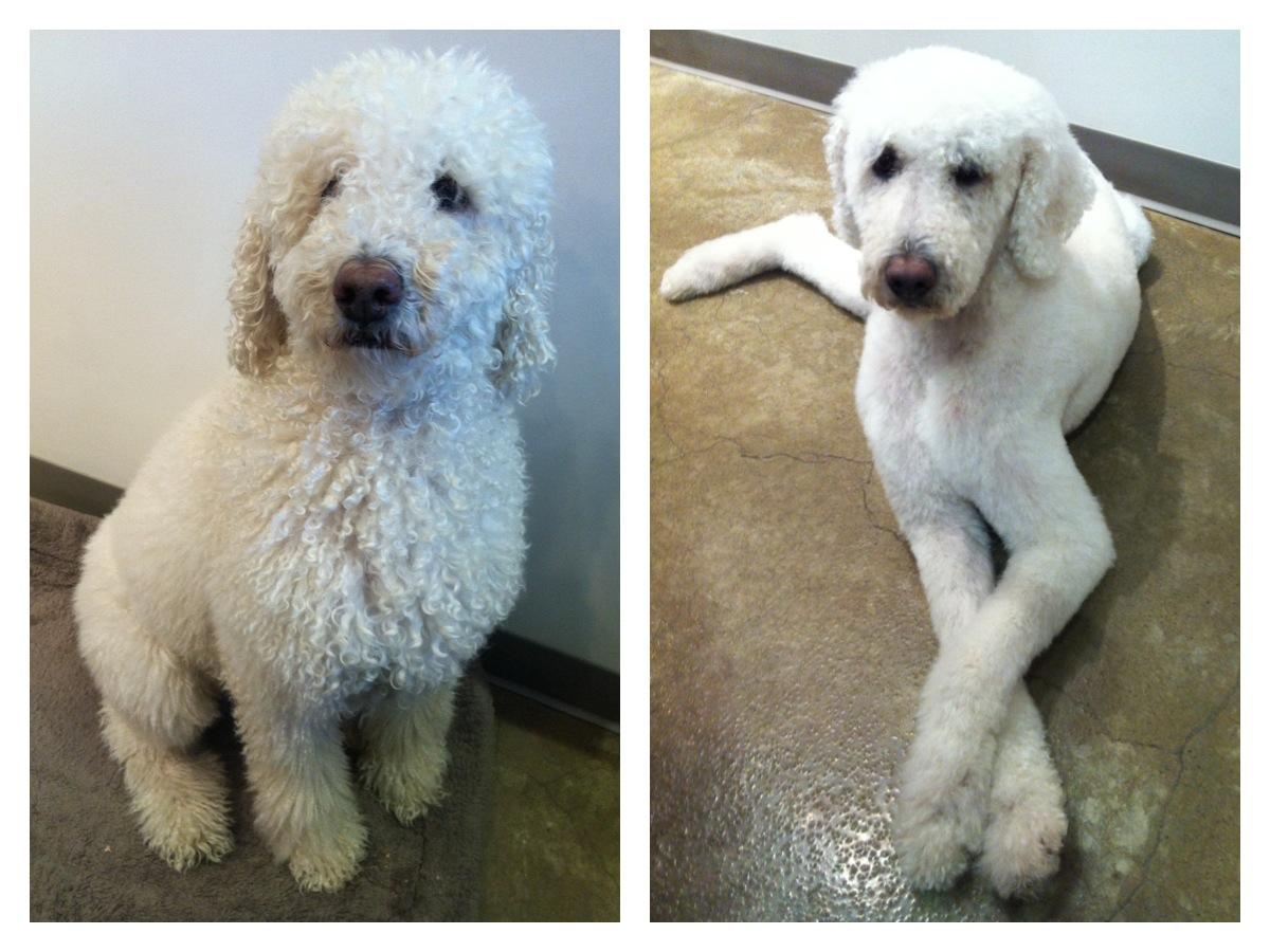 Jacque is a standard poodle mix who was adopted through Secondhand Hounds.