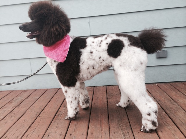 Coco has been a regular at Bubbly Paws since she was a tiny puppy. When she was ready for her first big grooming she was calm and comfortable allowing Mallory to give her a great cut!