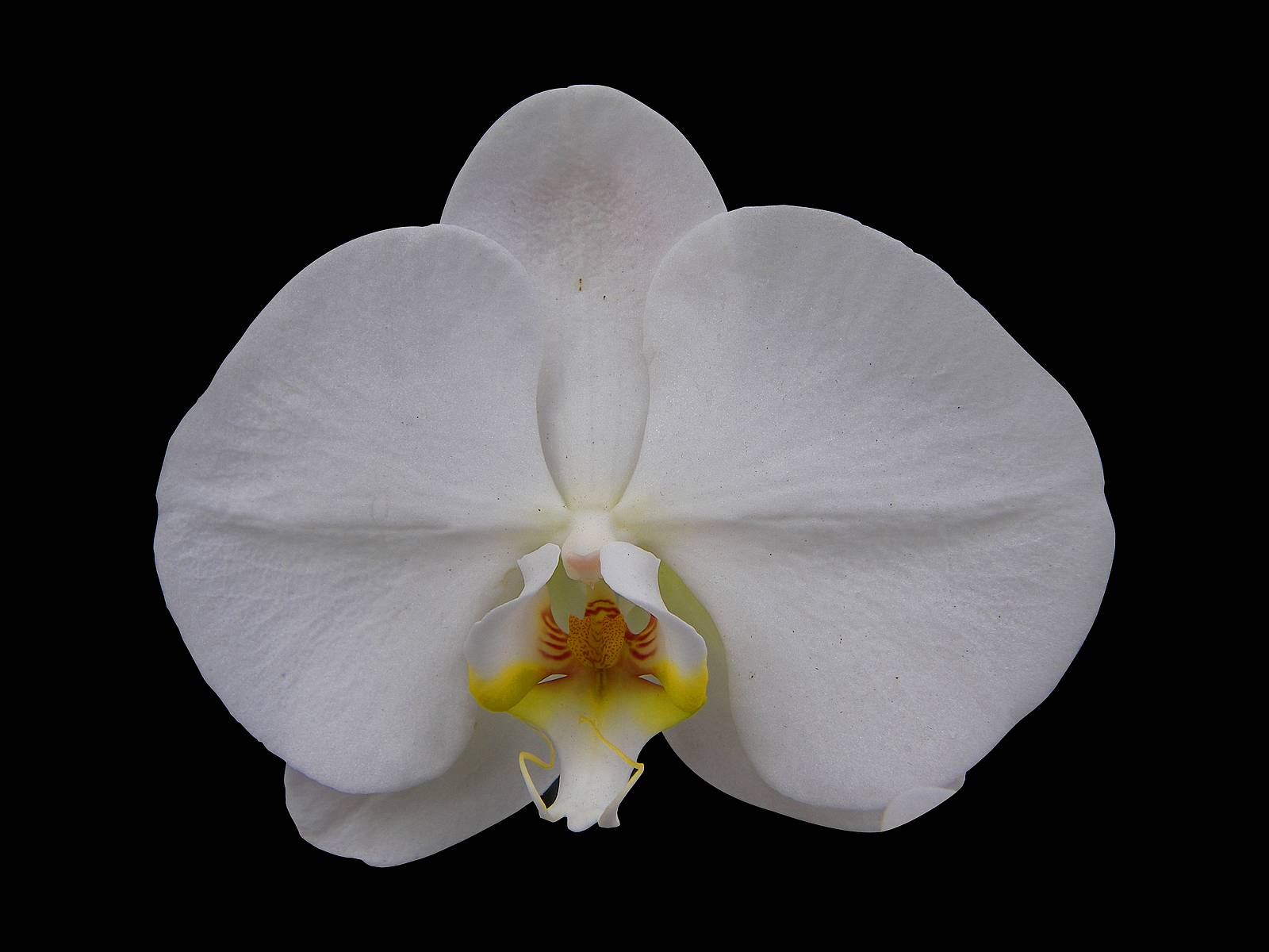 single phalaenopsis bloom