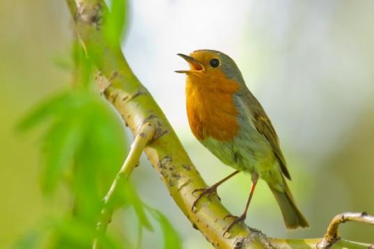 Singing-Robin-537x358