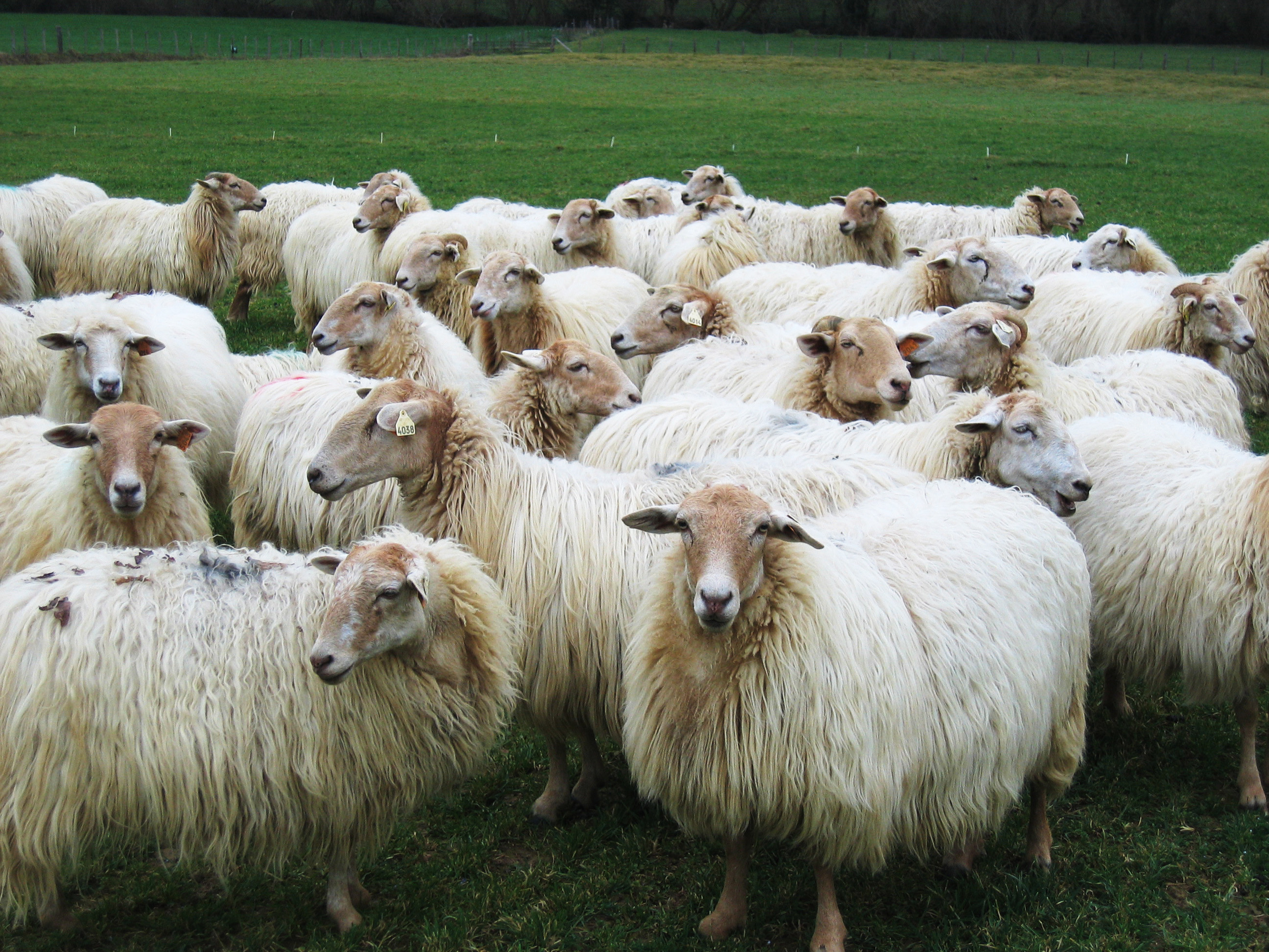 French Manech Sheep