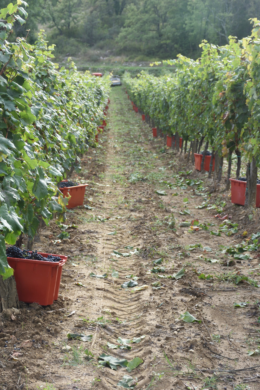 Grapes at Kozlovic Vineyard, 2016