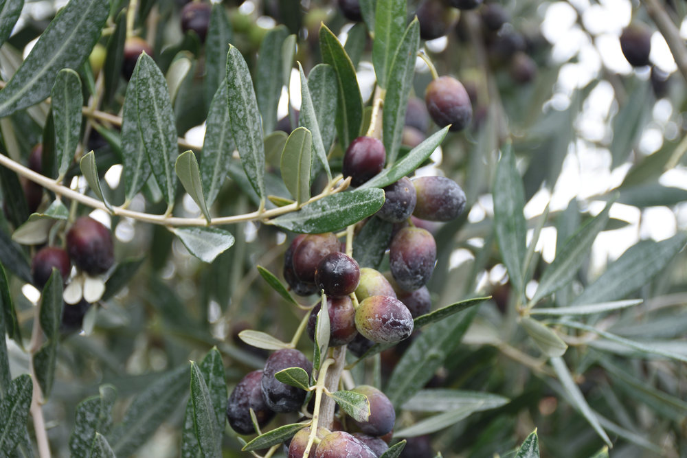 Olives ready to be harvest at Villa Bruna, 2016