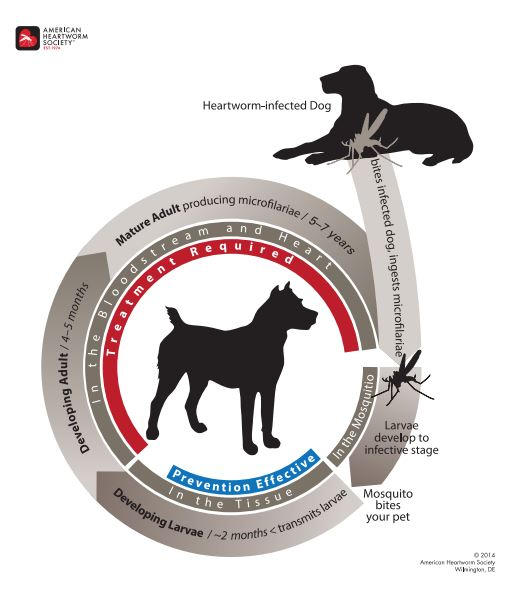 Life Cycle of the Heartworm in Dogs