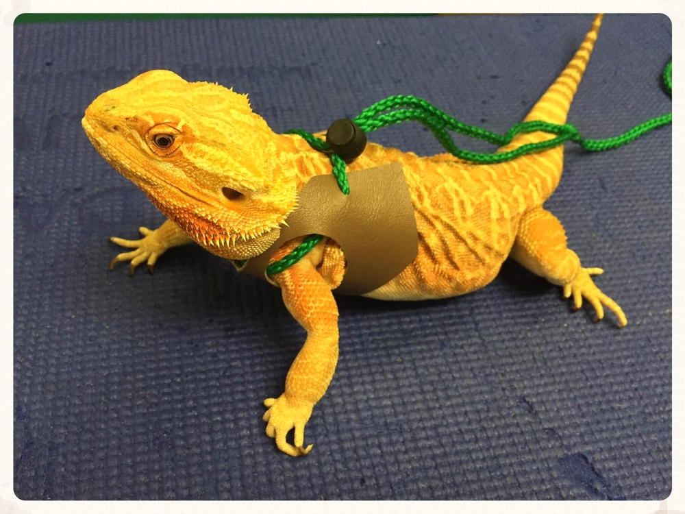 Image Led Build Love With Your Bearded Dragon 1