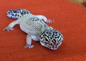 LEOPARD GECKO: The leopard gecko's small size (8-9 inches) and moderate lifespan (6-10 years) make this species an ideal starter. They are comfortable in a 20 gallon aquarium. They thrive on a cricket-based diet.