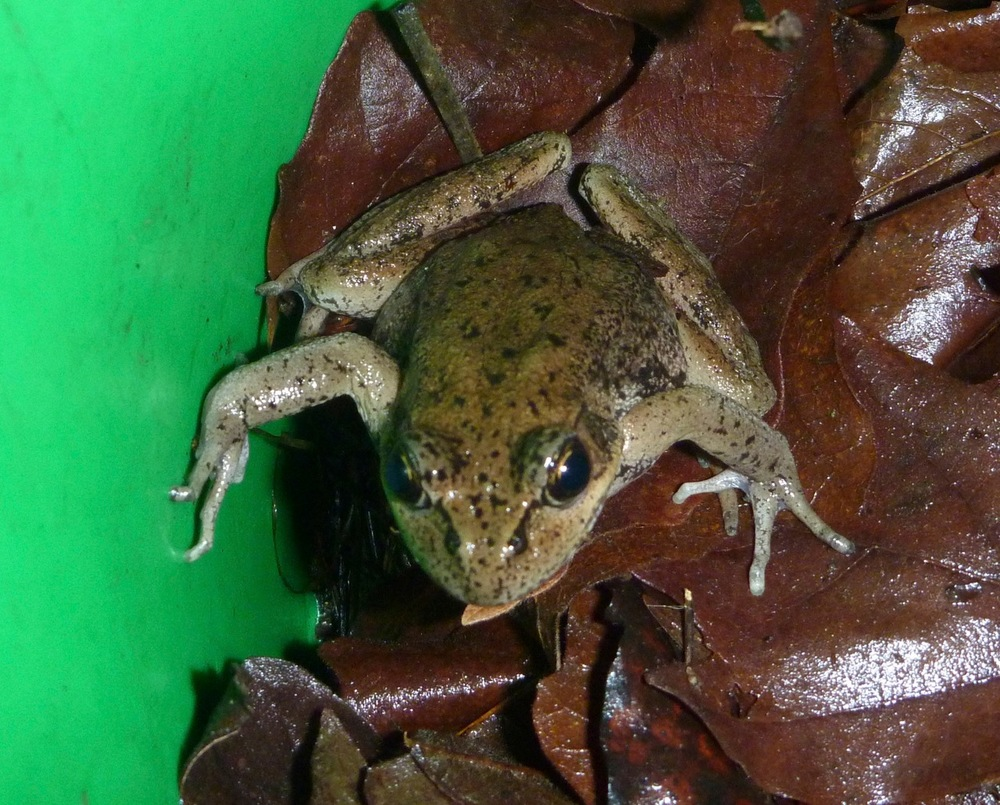 Frog in a Bucket