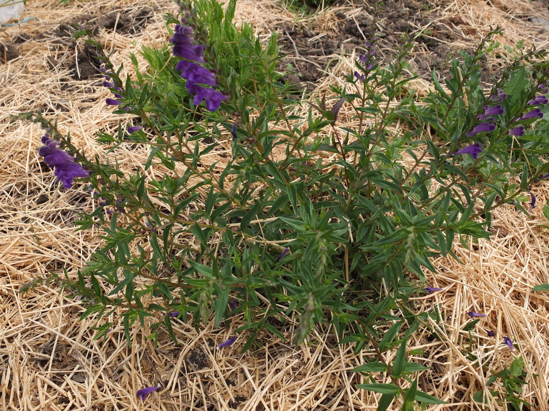 e601a395101 Baical Skullcap Seeds — Ravensong Seeds   Herbals