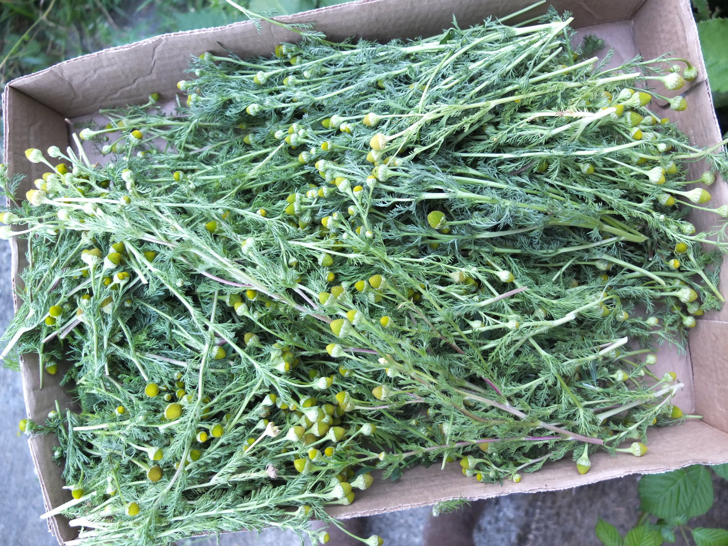 5 Simple Techniques For How To Sow Chamomile Seeds