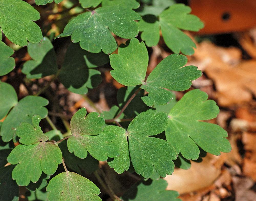 Columbine red ravensong seeds herbals izmirmasajfo