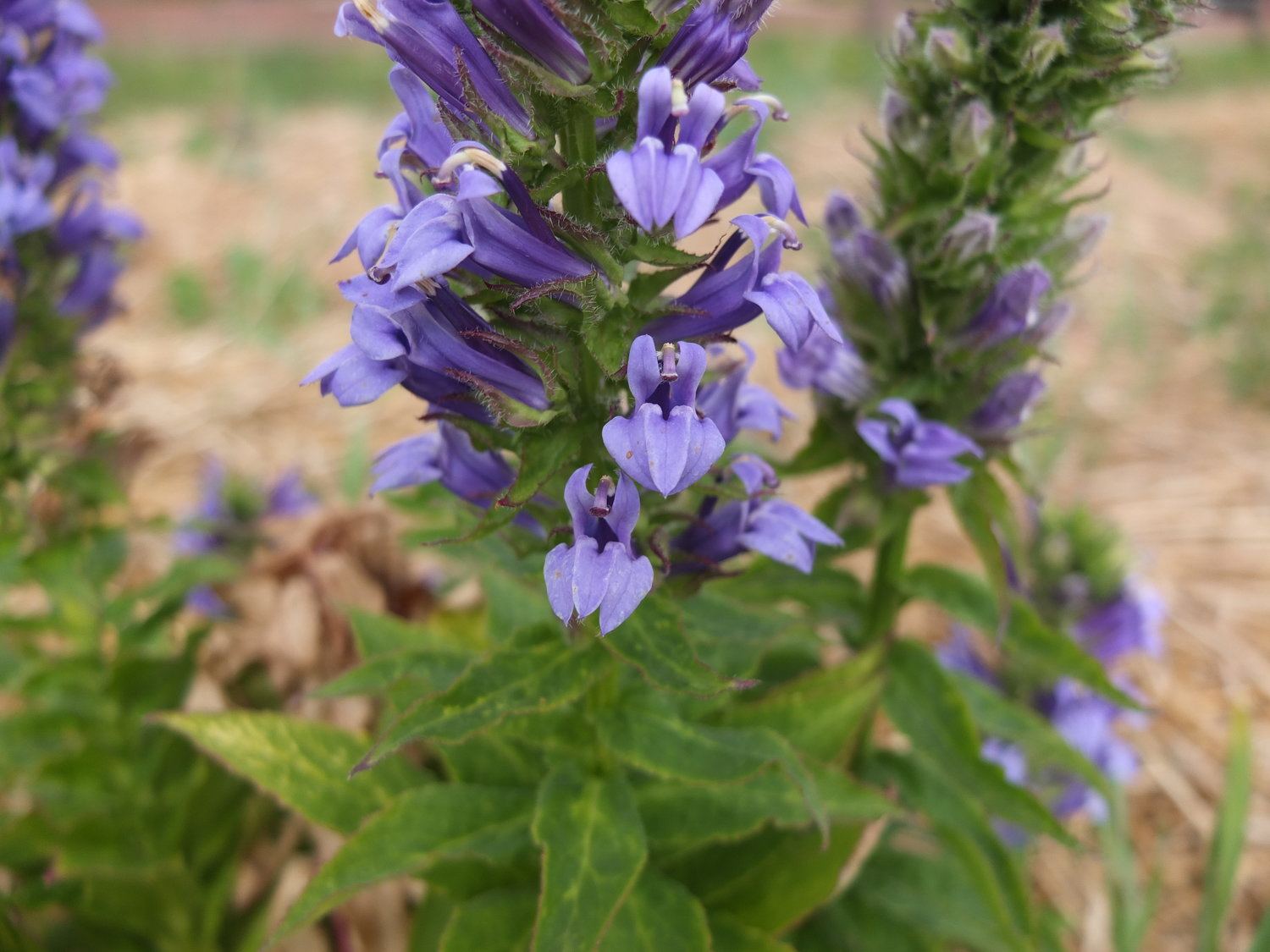 Great Blue Lobelia Seeds Ravensong Seeds Herbals