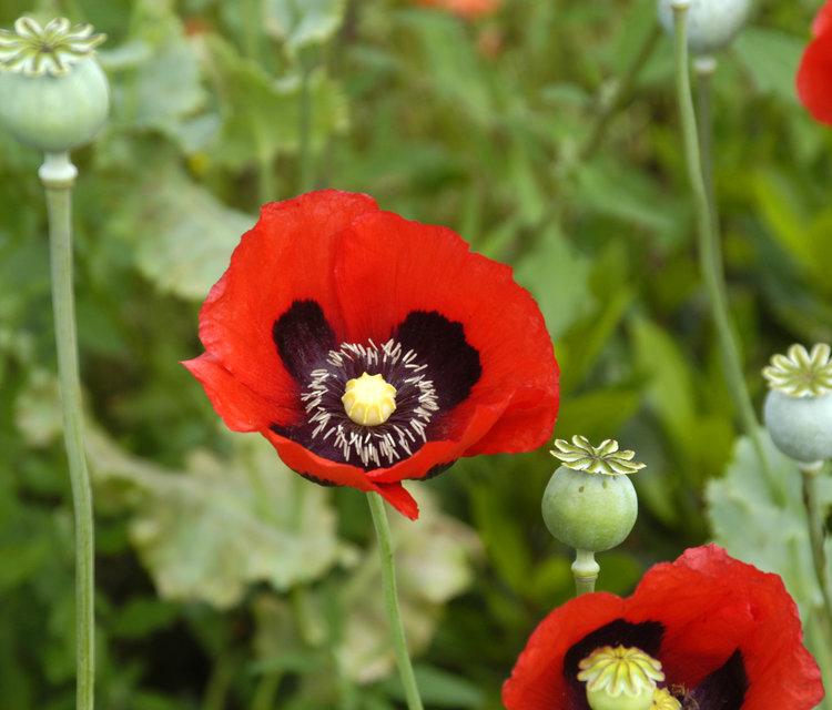 Opium Poppy Seeds Ravensong Seeds Herbals