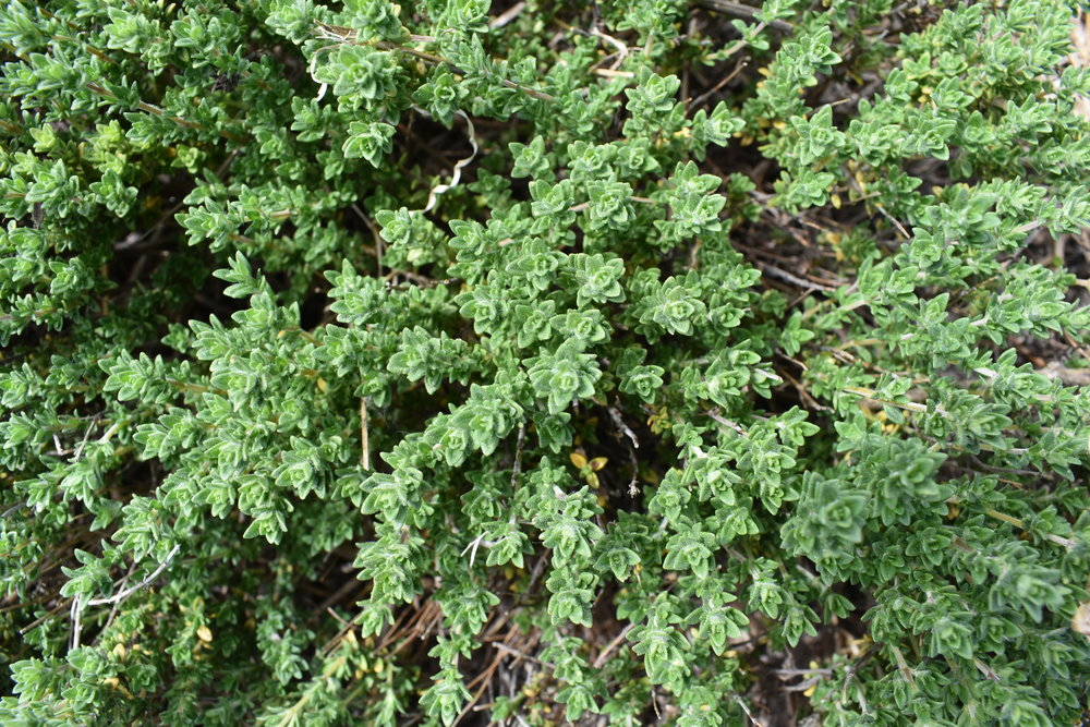 "Picture of 2 (TWO) Live Thyme Lavender - Organic Non-GMO - Herbs Plant Fit 4"" Pot"
