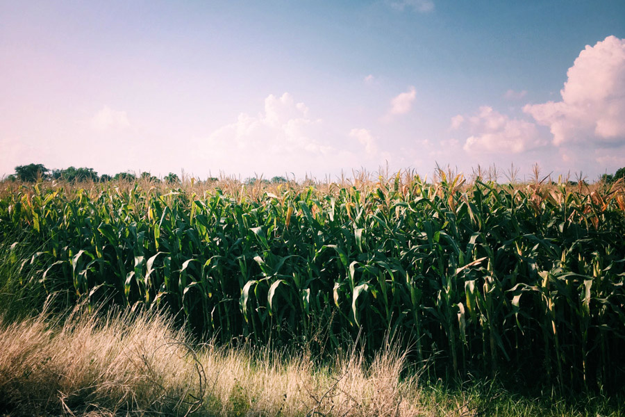 Cornfields of plenty.