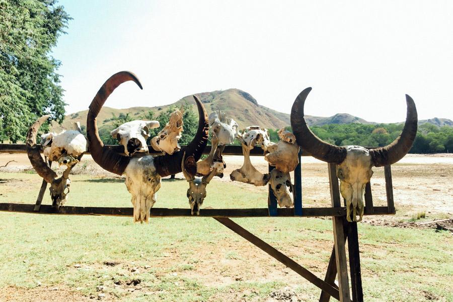 Water buffalo skulls; trophies of the Komodo Dragons.