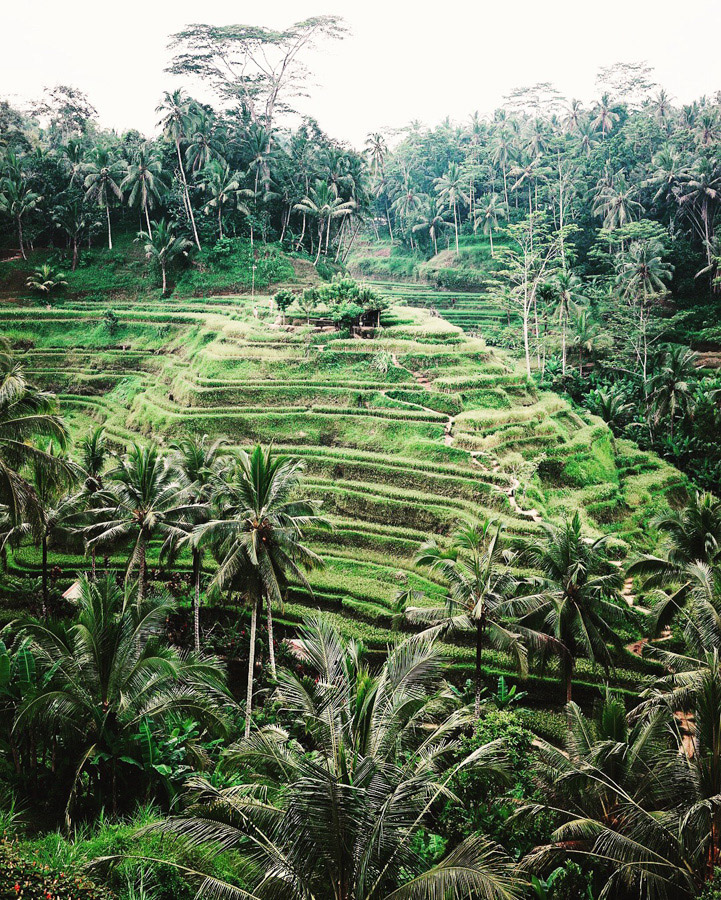 Indonesian rice paddies are known for their beautiful terraces, which are actually complex irrigation systems called subak. This view is from the Tegallalang Rice Terraces just north of Ubud.