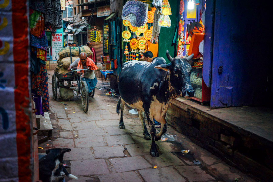 The alleyways of Varanasi were made for everyone and everything.