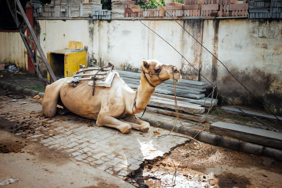 A camel in the alleys of Jaipur.