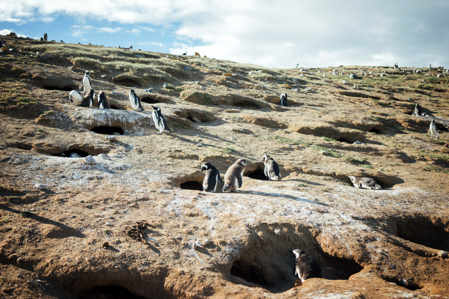 A giant penguin colony in the middle of the Strait of Magellan. Every year the Magellanic penguins arrive here to breed on Isla Magdalena, mating with the same partner and returning to the same burrow year after year.