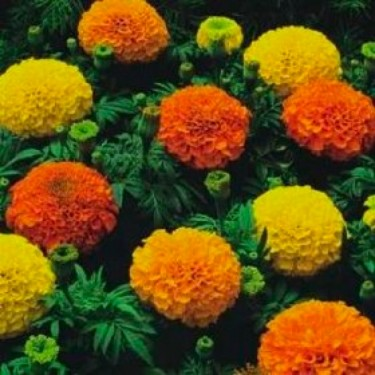 crackerjack Mix Marigold