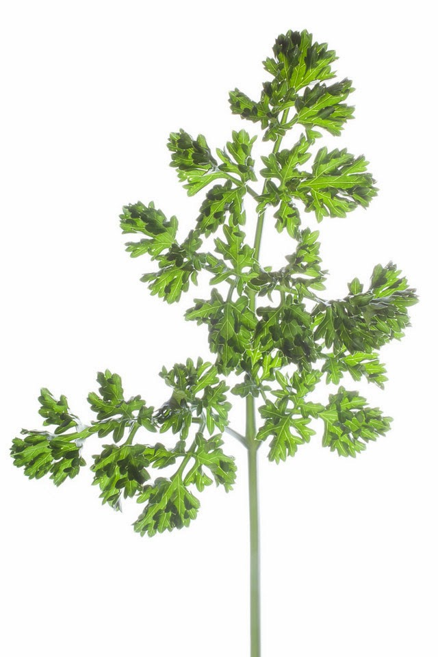 curly parsley.jpg