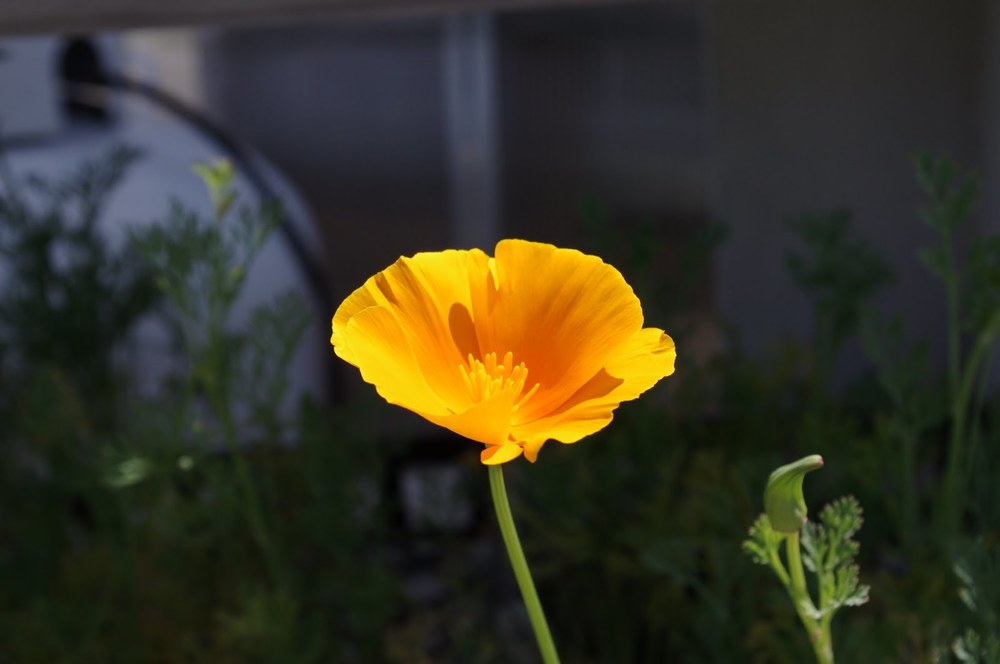 california poppy.JPG
