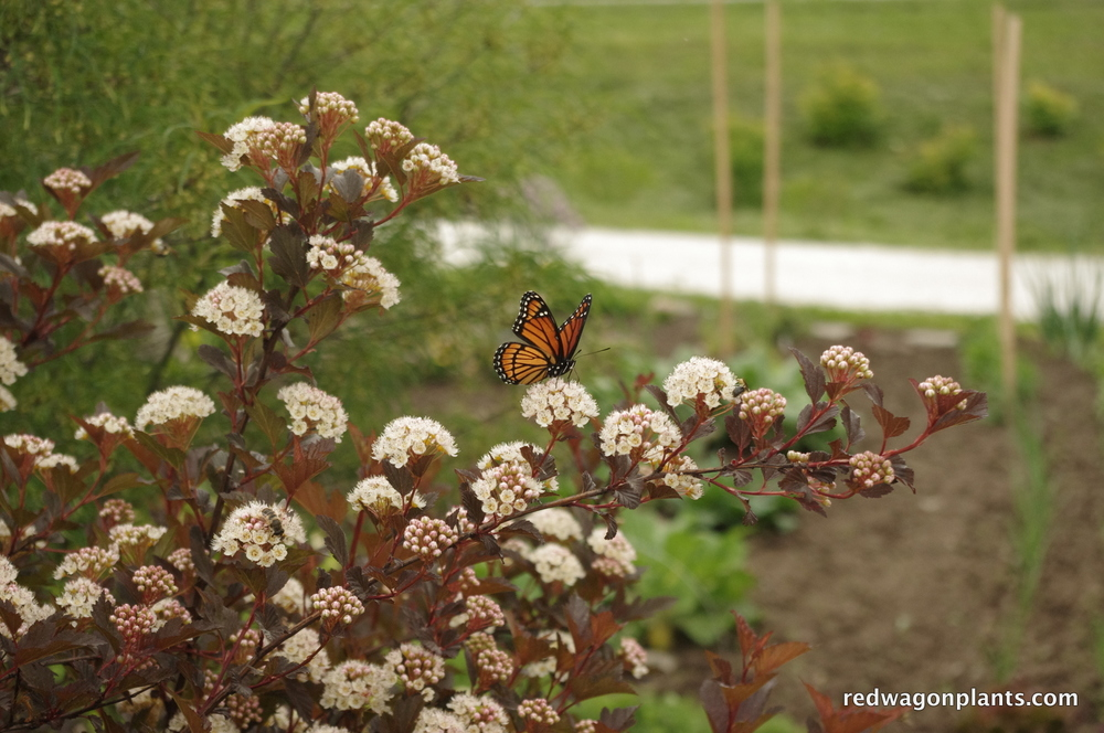 butterfly with physocarpus.JPG