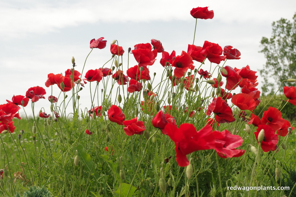 poppies red.JPG