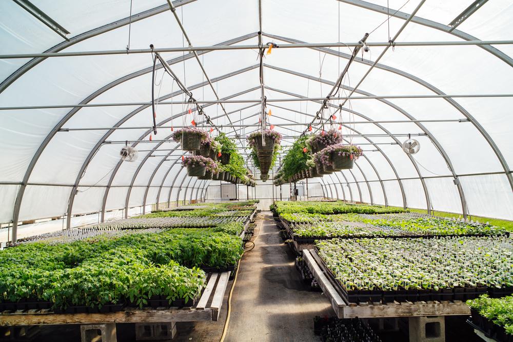 sidalcea and greenhouse.JPG