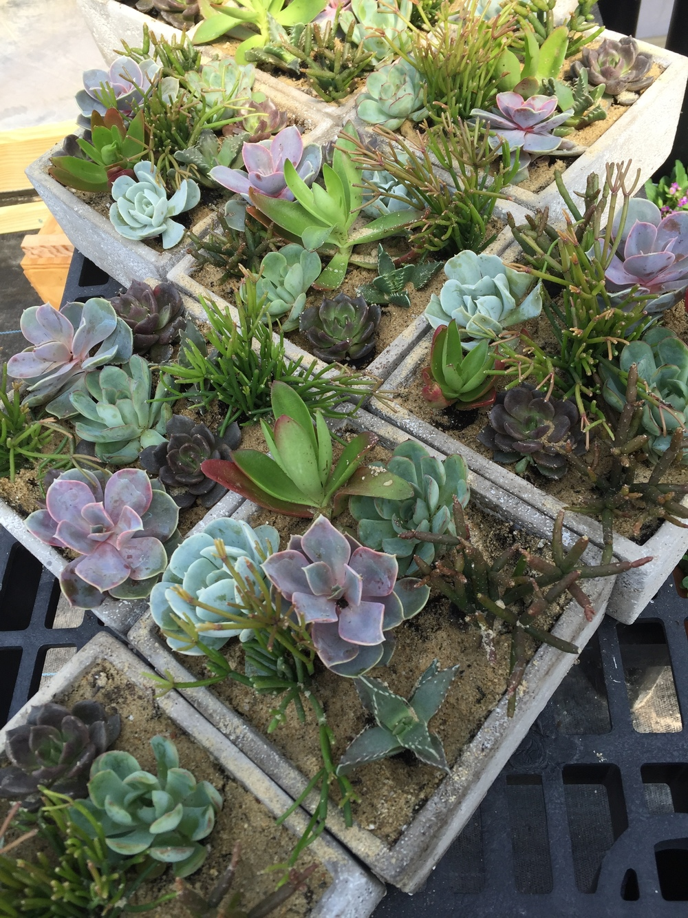 Ann made more succulent gardens
