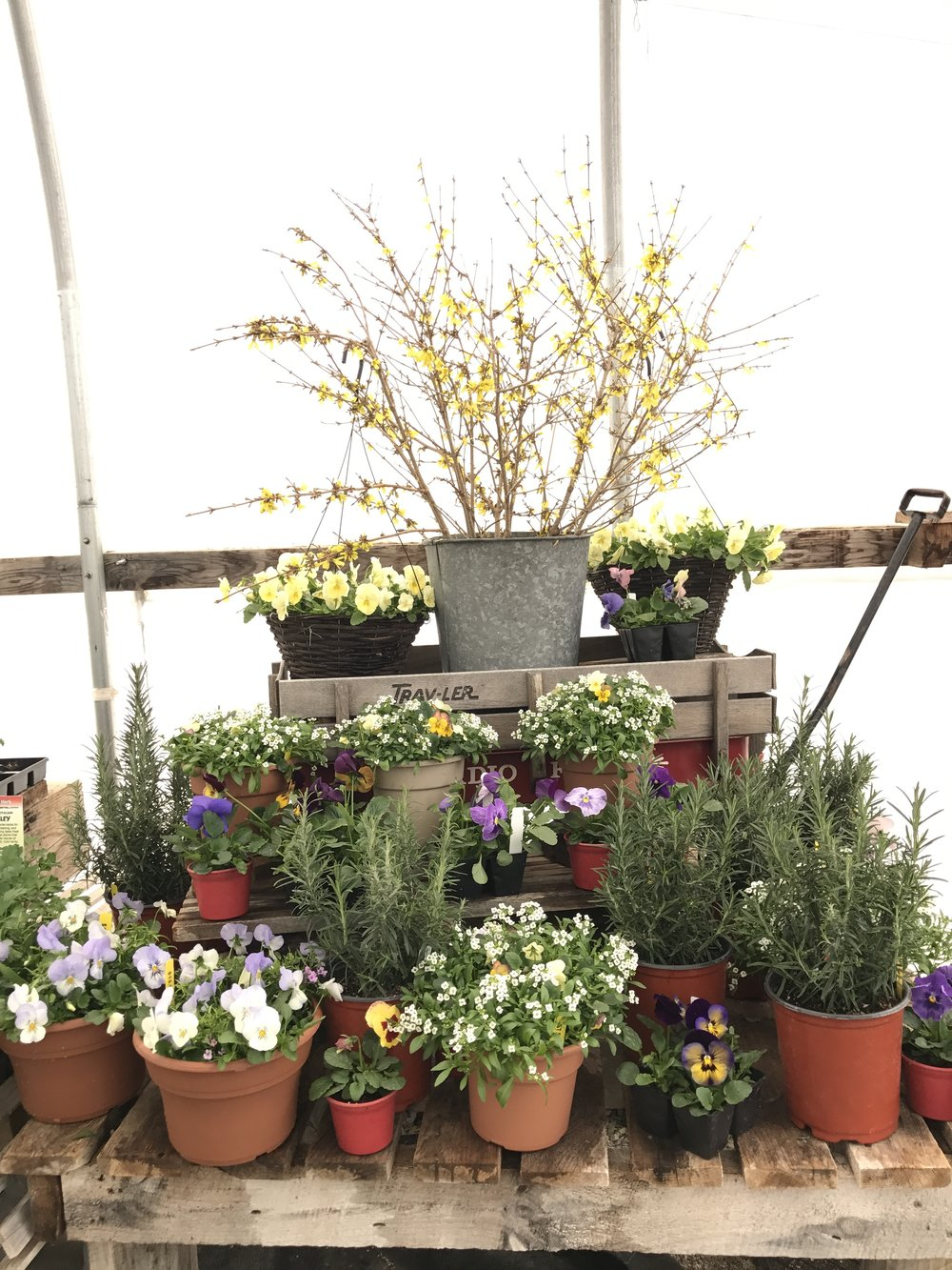 Spring time displays with violas, alyssum, pansies, rosemary, and forced forsythia branches. Nice job, Lily!